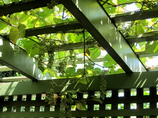 L&S summer grape arbor