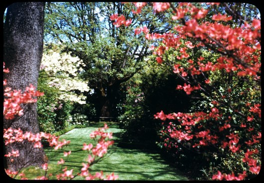 Knight Library Home Garden Dogwood + Focal Point, West Allee May 1950