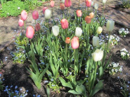 tulips detail
