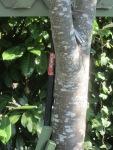 hammer tree