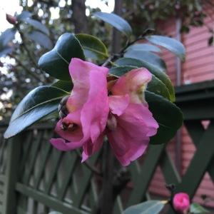 camellias 2