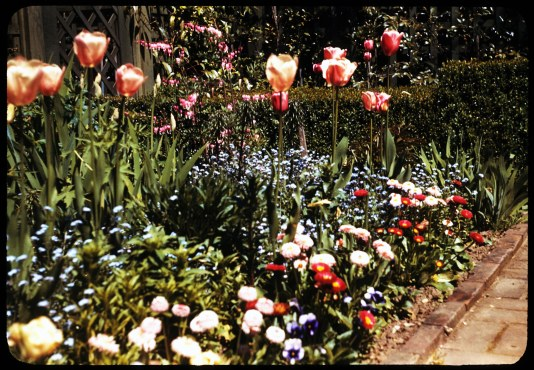 1949_knight-library-home-garden-fl-garden-tulips-1949