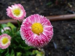 Bellis perenis (Bellis daisy)