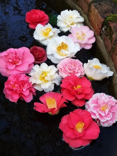 3_25 camellia blossoms
