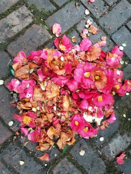 3_28 camellias on walk 2
