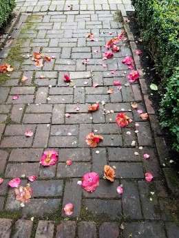 3_28 camellias on walk