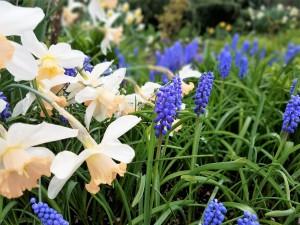 3_28 grape hyacinths