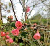 Chaenomeles (quince)