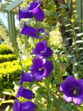 Campanula medium aka Canterbury bells