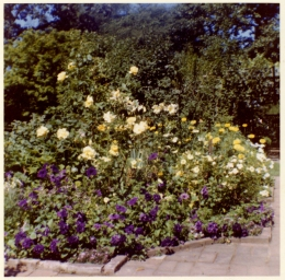 Yellow roses and purple pansies. 1960