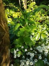 Emerging flower stalk