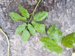 Aegopodium leaves