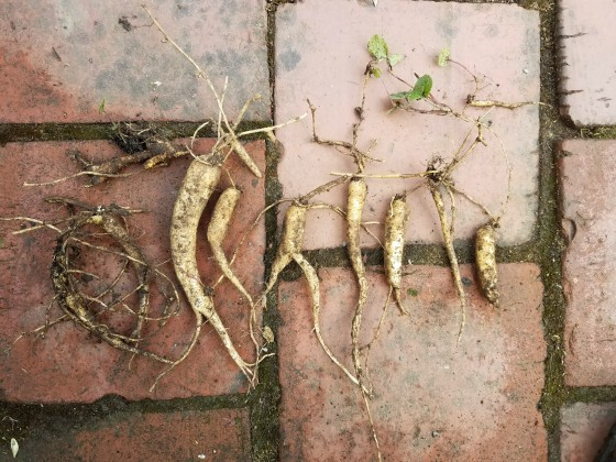 campanula rapunculoides roots
