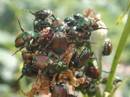 beetle-damage-3-p7260010_orig