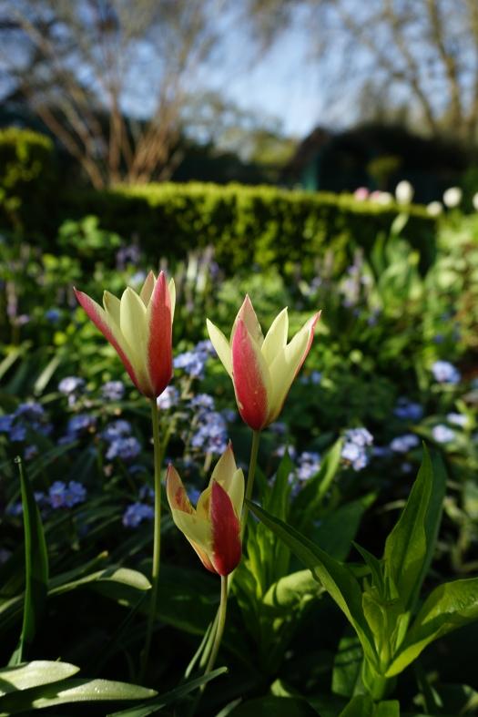 Tulipa clusiana var. chrysantha 'Tubergens Gem'
