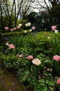 Tulipa 'Foxtrot' does a great job of foiling Tulipa 'Rosalie'