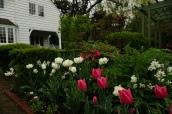 Tulipa 'White Parrot' and Tulipa 'Yosemite'