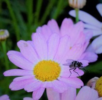 Fly on the Marguerite Daisy
