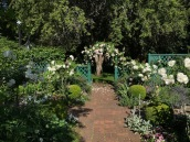 """The Teahouse garden with the Roses starting into bloom, the Four 'Iceberg"""" on standards were reintroduced this year and are looking great!"""