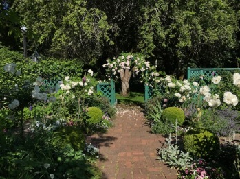 "The Teahouse garden with the Roses starting into bloom, the Four 'Iceberg"" on standards were reintroduced this year and are looking great!"