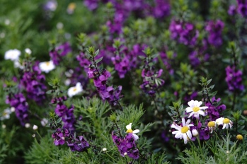 Angelonia and Margueritte Daisy's