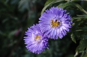 Chinese Aster are a great late summer bloomer.