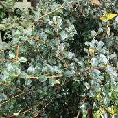 Osmanthus delavayi from Yunnan and Southern China