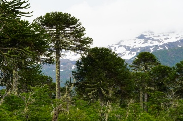 Chile has some phenomenal evergreen trees and the Monkey Puzzle stands out as a centerpiece among them