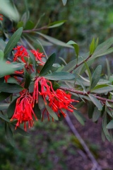 Embothrium coccineum in habitat at the Rio Bio Bio