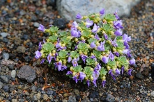 The Rosulate Violets of the Alpine region are stunning