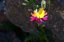 Saw several different schizanthus species