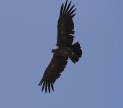 A juvenile Andean Condor