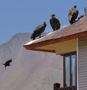 Juvenile Condors at Valle Nevado