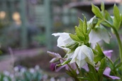 The Hellebores are coming on strong in the late winter garden.