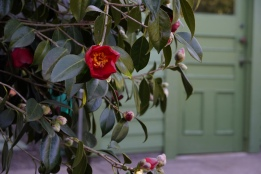 The Camellia's of the Reserve garden have all been propagated via seed, cuttings and air layers. Some will be transplanted to Deepwood this spring.