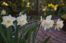 The daffodills are up around the garden now.