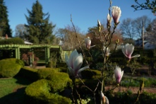 The magnolia's are starting in as well.